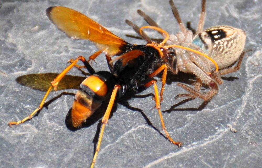 Spider And Wasp Control